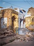 street in old town center with painted walls and sacred cows, city of Bundi, India