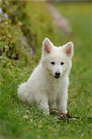 perception - White wolfdog puppy on a meadow, Bavaria, Germany Stock Photo - Premium Rights-Managednull, Code: 700-06786743