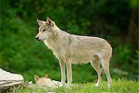 perception - Eastern wolf (Canis lupus lycaon) standing on a meadow, Germany Stock Photo - Premium Rights-Managednull, Code: 700-06786884