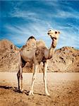 Camel in the desert in Egypt