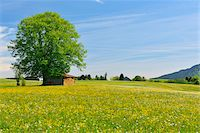 scenic and spring (season) - Flowers in Meadow with Beech Tree in Spring, Halblech, Swabia, Bavaria, Germany Stock Photo - Premium Royalty-Freenull, Code: 600-06803895
