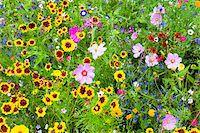 Cosmos and Rudbeckia in Wild Flower Garden, Mainau Island, Baden-Wurttemberg, Germany Stock Photo - Premium Royalty-Freenull, Code: 600-06803915
