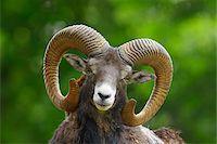 ram (animal) - Close-Up of European Mouflon (Ovis orientalis musimon) Ram, Hesse, Germany, Europe Stock Photo - Premium Royalty-Freenull, Code: 600-06803937
