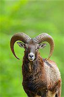 ram (animal) - European Mouflon (Ovis orientalis musimon) Ram Looking at Camera, Hesse, Germany, Europe Stock Photo - Premium Royalty-Freenull, Code: 600-06803939