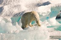 Polar bear on floating ice, Davis Strait, Labrador See, Labrador, Canada, North America Stock Photo - Premium Rights-Managednull, Code: 841-06805433