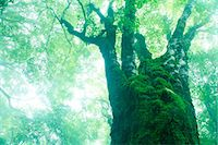 fantastically - Large maple tree in the fog Stock Photo - Premium Royalty-Freenull, Code: 622-06809734