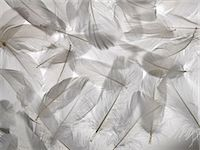 feather  close-up - White feathers Stock Photo - Premium Royalty-Freenull, Code: 649-06812522