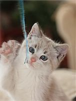 Kitten plays with wool yarn Stock Photo - Premium Royalty-Freenull, Code: 618-06818365