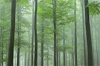 scenic view - Beech forest (Fagus sylvatica) in early morning mist, Spessart, Bavaria, Germany, Europe Stock Photo - Premium Royalty-Freenull, Code: 600-06841675