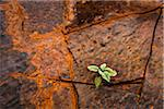 Close-Up of Plant Growing Between Cracks in Banded Iron Formation Rock, Dales Gorge, Karijini National Park, The Pilbara, Western Australia, Australia Stock Photo - Premium Rights-Managed, Artist: R. Ian Lloyd, Code: 700-06841628