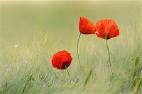 Red Poppies (Papaver rhoeas) in Barley Field, Hesse, Germany, Europe Stock Photo - Premium Royalty-Freenull, Code: 600-06841709