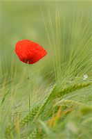 Red Poppy (Papaver rhoeas) in Barley Field, Hesse, Germany, Europe Stock Photo - Premium Royalty-Freenull, Code: 600-06841710
