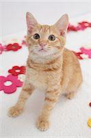 Cat Stock Photo - Premium Royalty-Freenull, Code: 622-06842151