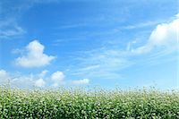 Buckwheat flowers and sky Stock Photo - Premium Royalty-Freenull, Code: 622-06842559