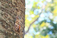 Cicada on cherry tree Stock Photo - Premium Royalty-Freenull, Code: 622-06842615
