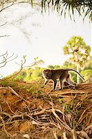macaque monkey in forest at summer day Stock Photo - Royalty-Freenull, Code: 400-06891705