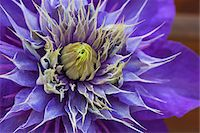 Close-up of blooming Clematis Multi Blue Stock Photo - Premium Rights-Managednull, Code: 700-06892489