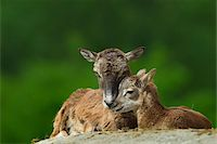 Mouflon, Ovis musimon, female with young, Hesse, Germany Stock Photo - Premium Rights-Managednull, Code: 700-06892505