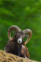 Mouflon, Ovis musimon, ram, Hesse, Germany Stock Photo - Premium Rights-Managednull, Code: 700-06892507