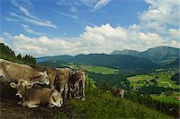 Cows on Mountainside in Allgaeu Alps, View from Paradies, near Oberstaufen, Bavaria, Germany Stock Photo - Premium Rights-Managednull, Code: 700-06892802