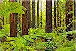 Redwood Trees and Ferns, Whakarewarewa Forest, near Rotorua, Bay of Plenty, North Island, New Zealand
