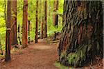 Path through Whakarewarewa Forest with Redwood Trees, near Rotorua, Bay of Plenty, North Island, New Zealand