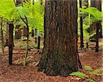Redwood Trees, Whakarewarewa Forest, near Rotorua, Bay of Plenty, North Island, New Zealand
