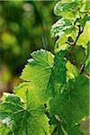 Close up of grapevine leaves sprinkled with rain in the sun Stock Photo - Premium Rights-Managed, Artist: Mark Burstyn, Code: 700-06895090