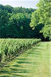 Edge of vineyard on Niagara Escarpment , Niagara Region, Ontario, Canada Stock Photo - Premium Rights-Managed, Artist: Mark Burstyn, Code: 700-06895095