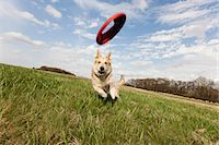 Alsatian dog running through field to catch frisbee Stock Photo - Premium Royalty-Freenull, Code: 614-06897423