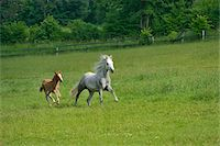 Connemara horse mare with foal running on a big paddock, Germany Stock Photo - Premium Rights-Managednull, Code: 700-06899975