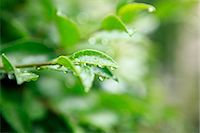 sprout - Green leaves and rain Stock Photo - Premium Royalty-Freenull, Code: 622-06900164