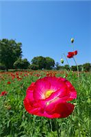 scenic and spring (season) - Poppy flowers Stock Photo - Premium Royalty-Freenull, Code: 622-06900207