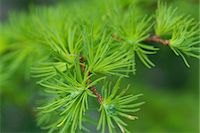 sprout - Larch leaves Stock Photo - Premium Royalty-Freenull, Code: 622-06900245