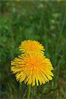 Dandelion flo