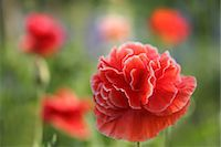 scenic and spring (season) - Poppy Stock Photo - Premium Royalty-Freenull, Code: 622-06900534