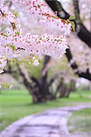 spring flowers - Cherry blossoms Stock Photo - Premium Royalty-Freenull, Code: 622-06900619