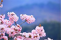 spring flowers - Cherry blossoms Stock Photo - Premium Royalty-Freenull, Code: 622-06900628
