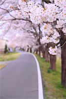 spring flowers - Cherry blossoms and road Stock Photo - Premium Royalty-Freenull, Code: 622-06900631