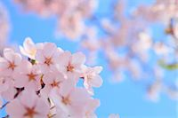 spring flowers - Cherry blossoms Stock Photo - Premium Royalty-Freenull, Code: 622-06900638