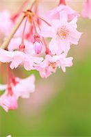 spring flowers - Cherry blossoms Stock Photo - Premium Royalty-Freenull, Code: 622-06900640