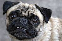 A pug shows her teeth for the camera in this comical pose. Stock Photo - Royalty-Freenull, Code: 400-06924738