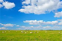 farming (raising livestock) - Sheep in Meadow in Summer, Toenning, Eiderstedt Peninsula, Schleswig-Holstein, Germany Stock Photo - Premium Royalty-Freenull, Code: 600-06936106