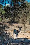 Springbok (Antidorcas marsupialis), Namib Desert, Namibia, Africa