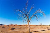 Dead Tree in Namib-Naukluft National Park, Namib Desert, Sossusvlei Region, Namibia, Africa Stock Photo - Premium Rights-Managednull, Code: 700-06962227