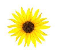 stamen - Close up of yellow sunflower on white background, studio shot Stock Photo - Premium Royalty-Freenull, Code: 640-06963138