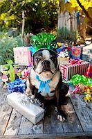 Boston terrier dog with birthday presents Stock Photo - Premium Royalty-Freenull, Code: 673-06964868