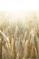 Wheat on field, close-up Stock Photo - Premium Royalty-Freenull, Code: 6102-06965461
