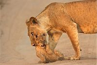 Lioness carrying cub, Mana Pools National Park,  Zimbabwe, Africa Stock Photo - Premium Royalty-Freenull, Code: 614-06974570