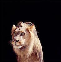 Lion (Panthera leo) Stock Photo - Premium Royalty-Freenull, Code: 6106-06992083